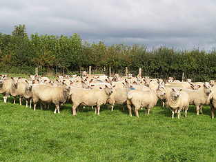 Charollais Shearling Ewes