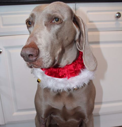 Christmas Scrunchie collar