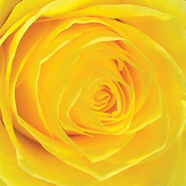 aa yellow rose