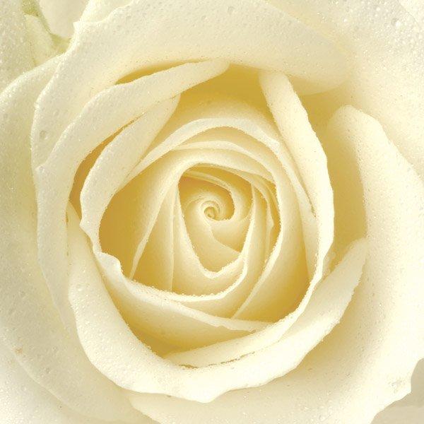 aa white rose.