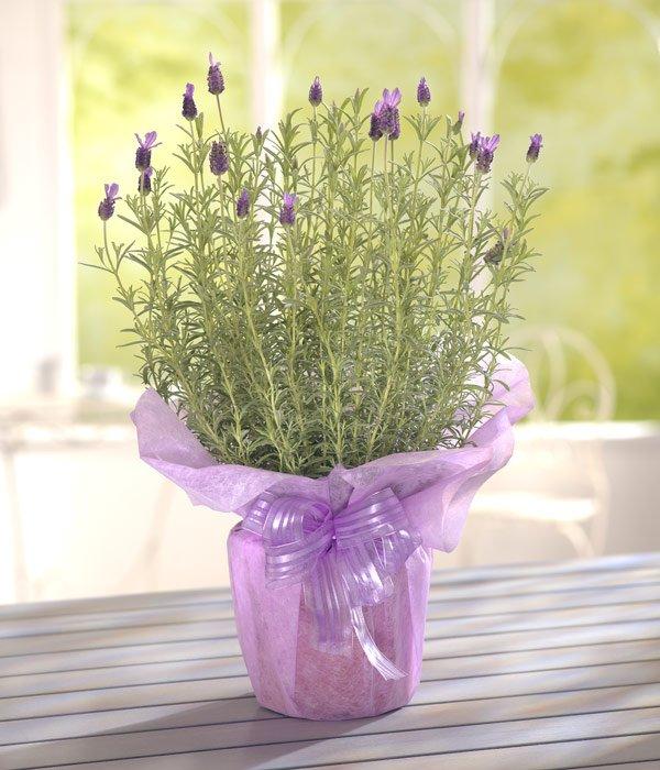 sweet lavendar