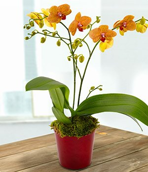 orange orchid plant
