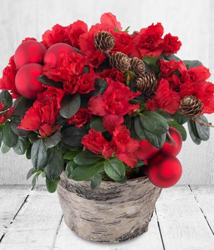Christmas Azalea