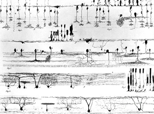cajal nerve structure of the retina