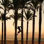 Climbing palm trees - Spain