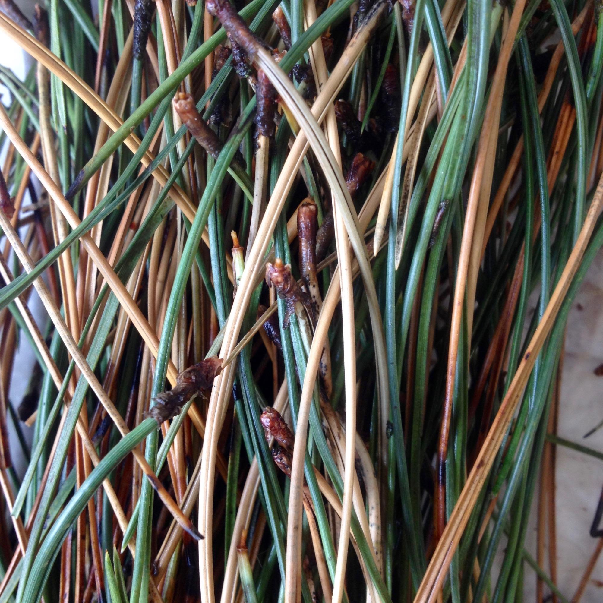 pine needle casting