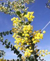 Candiflor Acacia Fragments (Crystallised) , MOQ 1kg, £26.38 per kg