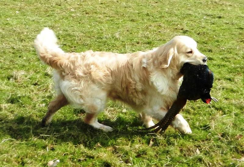 windy retrieving 2013 1 c