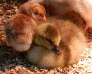 goose crose chick w 1