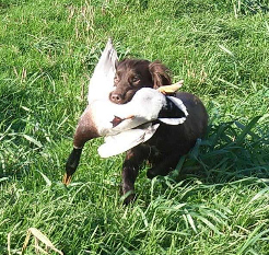 tillie retrieving a duck (1) croped