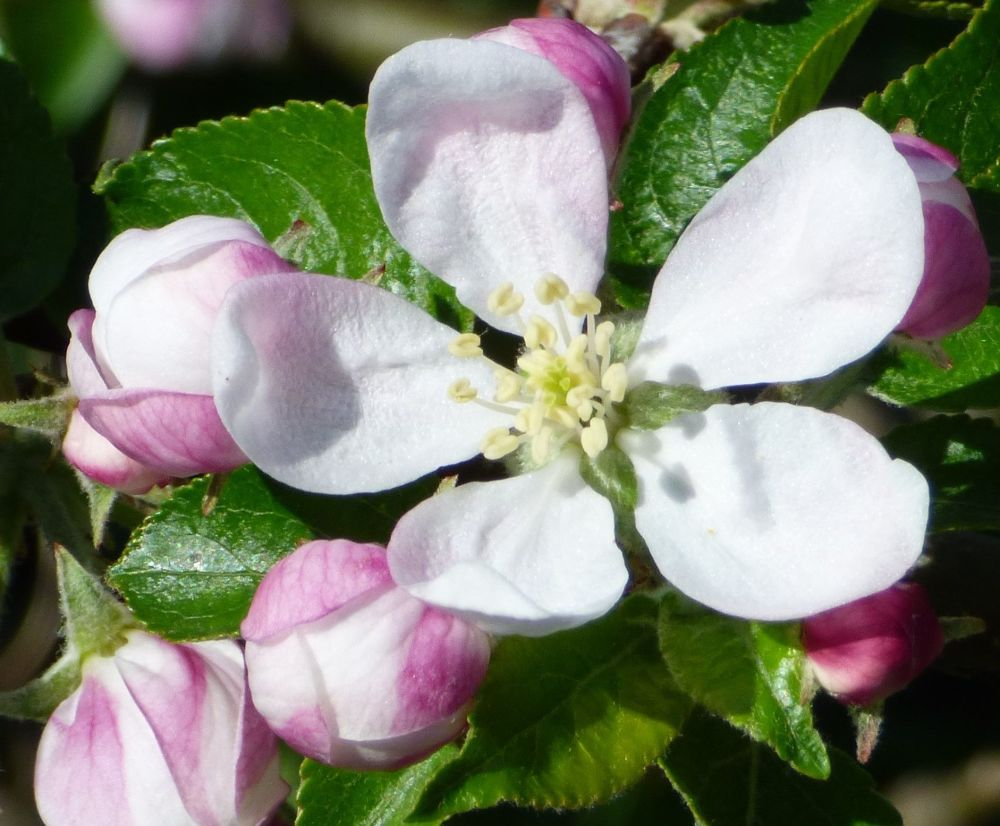 Apple blossom (5)