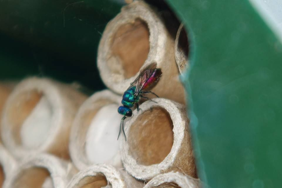 Ruby tailed wasp - bee tubes (2)