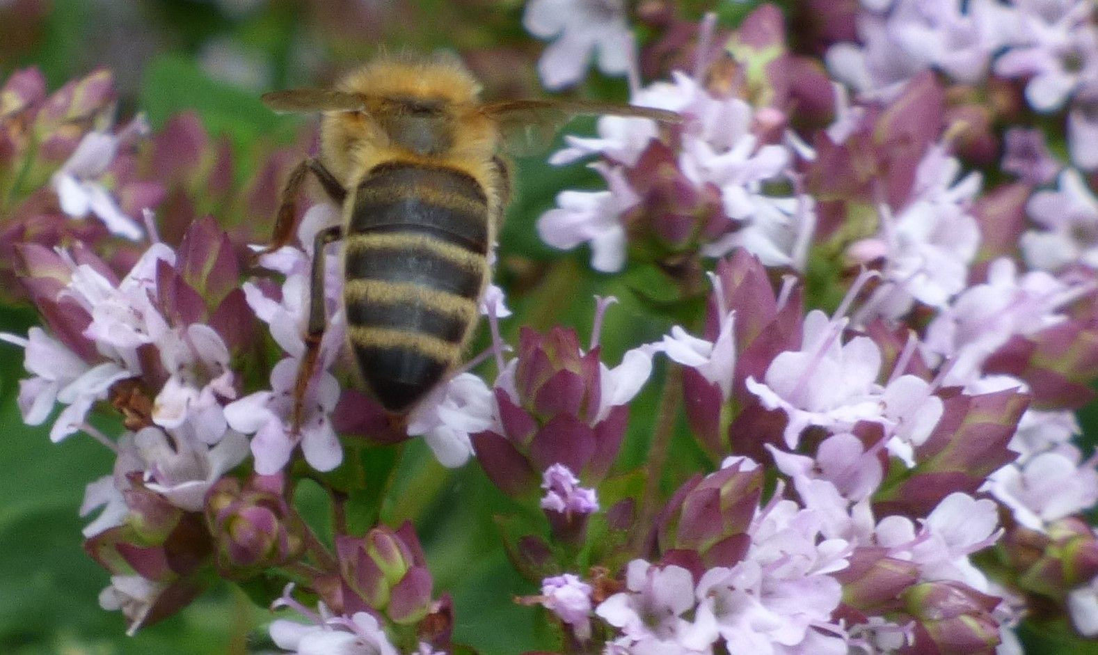 Honey Bee on Thyme