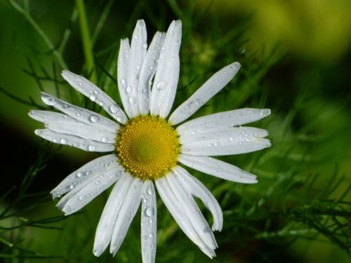 Raindrops on Daisy