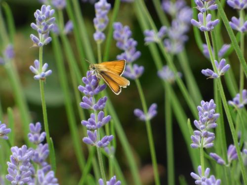 Small Skipper on Lavender