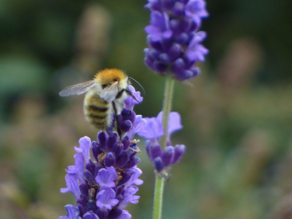 Common Carder Bee on Lavender