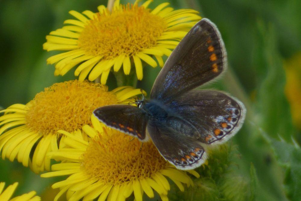 Common Blue Butterfly on Fleabane