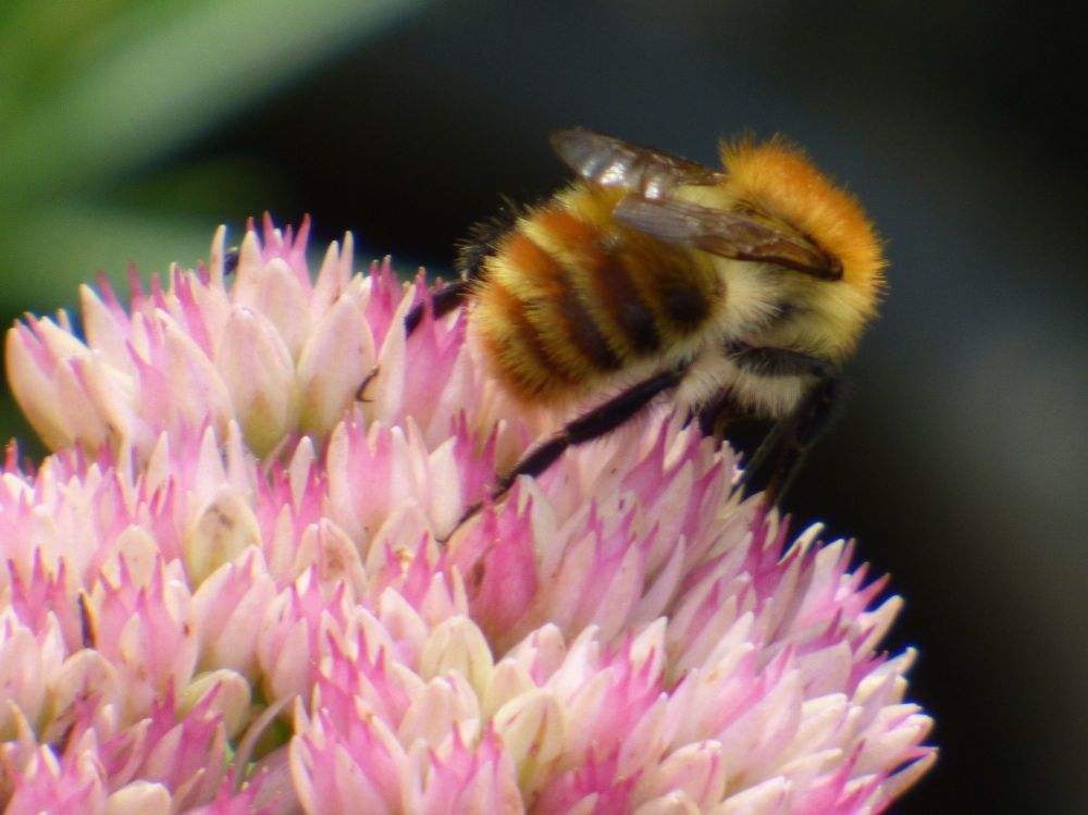 Carder Bee on Sedum