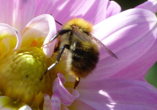 Common Carder Bee on Dahlia (close up)