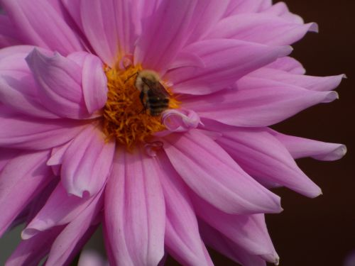 Common Carder Bee on Dahlia