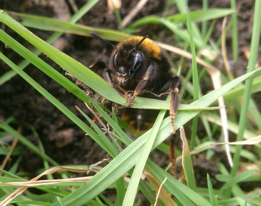 Bombus terrestris queen emerging March