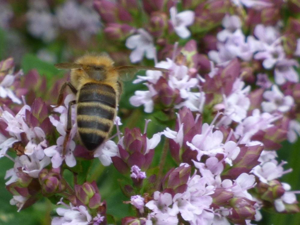 Honey Bee on Marjoram