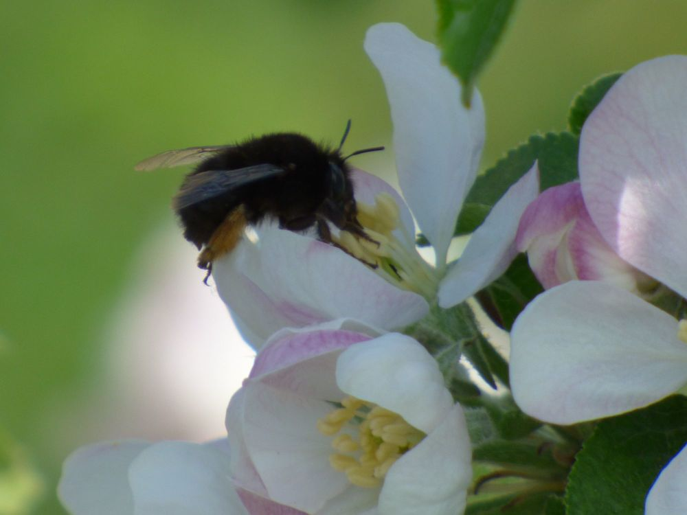 Hairy footed flower bee on apple blossom