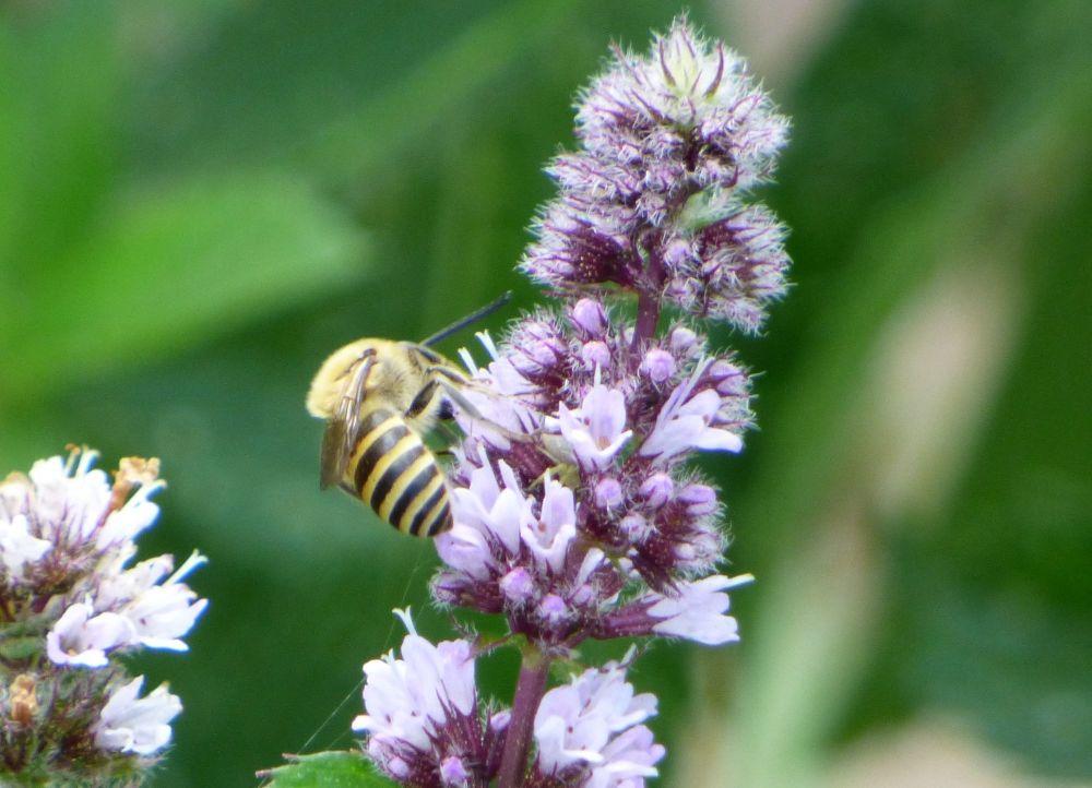 Ivy bee on flowering mint