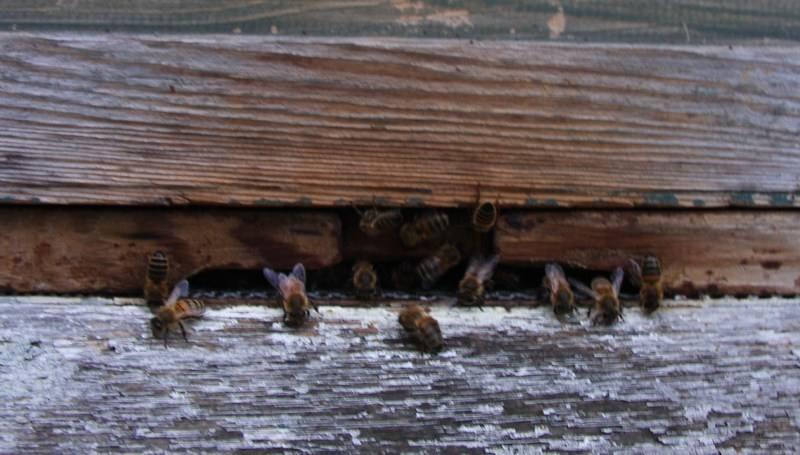 Bees at hive entrance