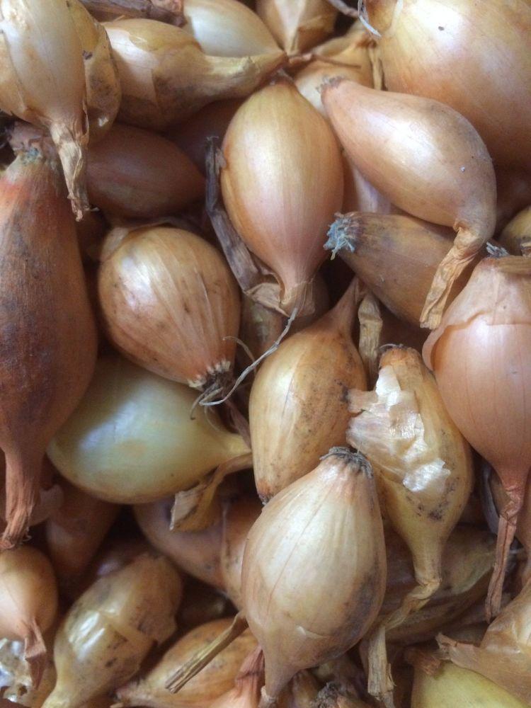1kg Stuttgarter Onion Set