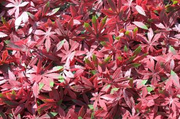 Artificial Red Acer Trellis - 100x200cm #YOJ-772