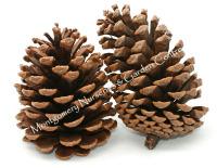1kg Pine Cones Austrica 6-8cm Approx 40-50 #DF4000