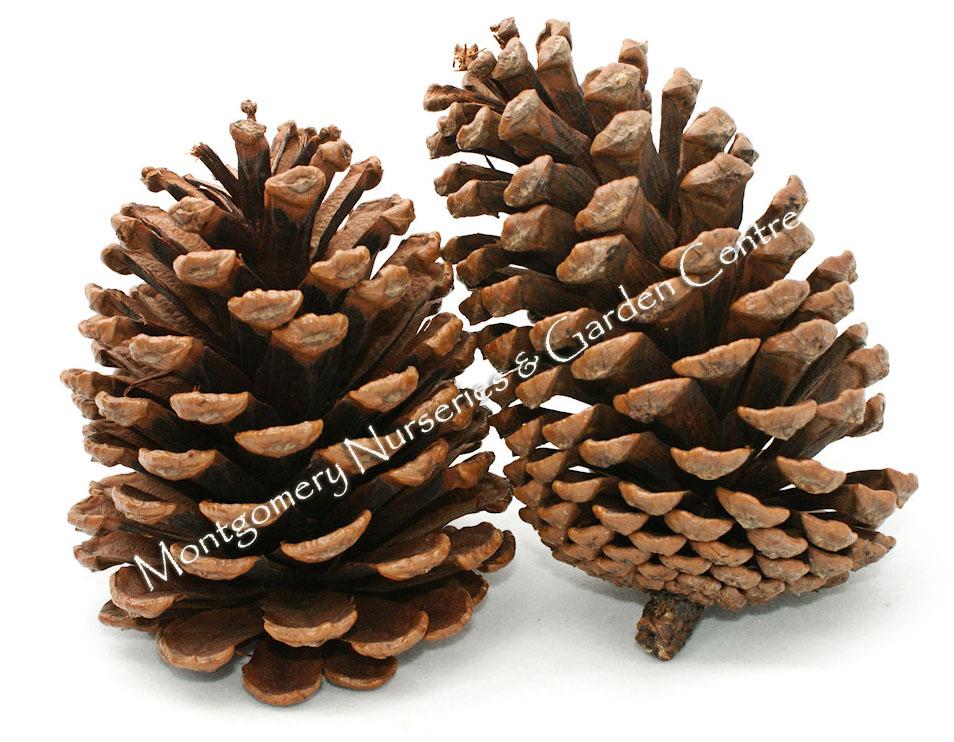 1kg Pine Cones Austrica 6-8cm Christmas