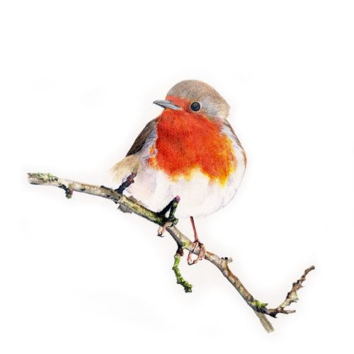 Robin red breast - Limited edition print
