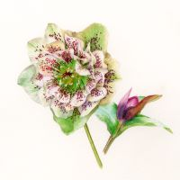 Hellebore and bud - Limited edition botanical print