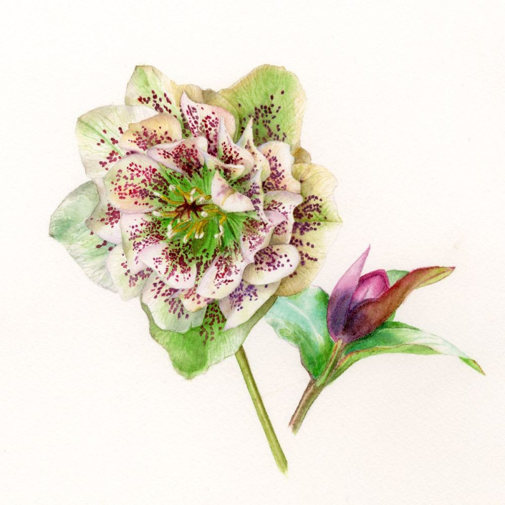 Hellebore print greetings card