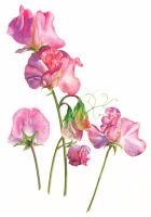 Sweet Peas - Limited edition botanical print