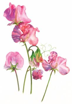 Sweet Peas greetings card