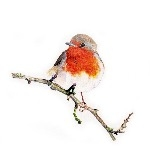 Robin red breast - Limited edition bird print