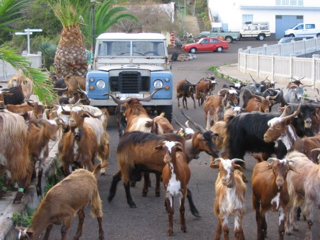 Goats in nearby village of Don Pedro