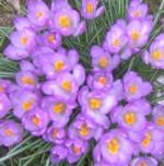 im000894 lilac crocus 150