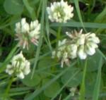 im000329 white clover 150