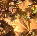 autumn leaves im000790
