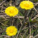 coltsfoot im000095