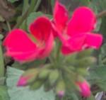 im000188 red geranium 150