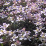clematis r