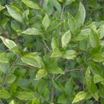 golden privet leaf