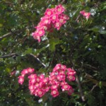 hawthorn red