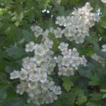hawthorn white