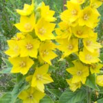 loosestrife yellow